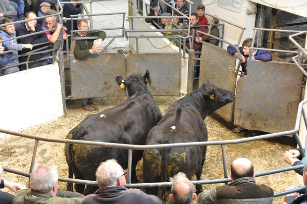 Lot No 500. DOB 7/02/10.Breed LMX.Weight 645 kg. Price €1190. Photo Roger Jones.