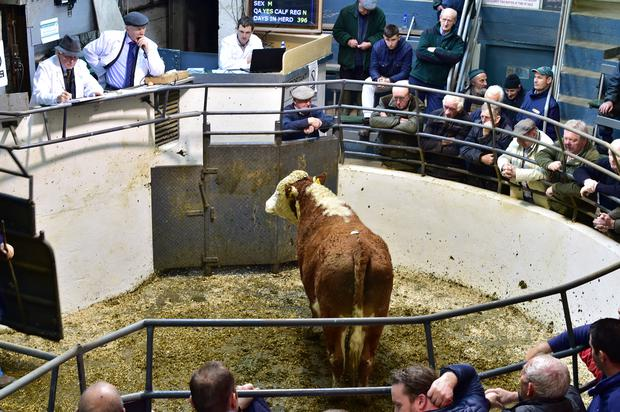 Lot no33 . DOB 7/2/16. BREED HE. Weight 550kg. Price €1000. Photo Roger Jones.