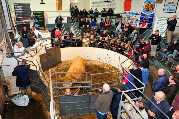 This 865kg April 2005 Charolais X bullock sold for €2,300 at the 50th anniversary sale in Kilcullen Mart. Photo Roger Jones.