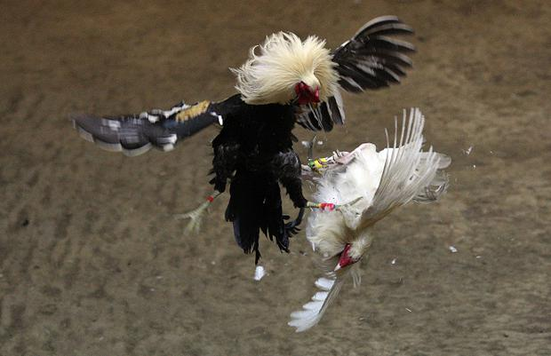 A game cock delivers a fatal blow to its competitor withthe three inch razor sharp blade attached to its left ankle, at the Makati Coliseum October on 11, 2008 in Makati City, Manila, the Philippines. (Photo by Tim Clayton/Corbis via Getty Images)