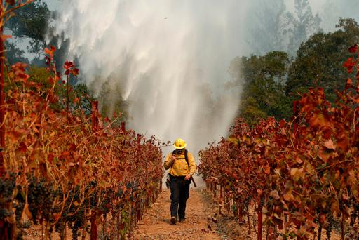 A firefighter walks between grape vines as a helicopter drops water over a wildfire near a winery in Santa Rosa, California. Photo: AP
