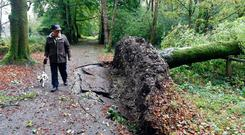 A man and his dog walk past a fallen tree in the Killarney Demesne after Hurricane Ophelia on Monday. Photo Don MacMonagle