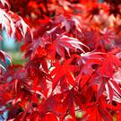 Bright red japanese red Ader Palmatum