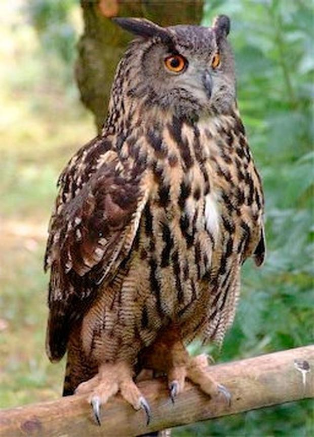 Dawn call of the great eagle owl from the dark timbered countryside