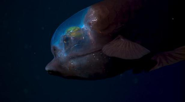 The barreleye fish has a transparent skull