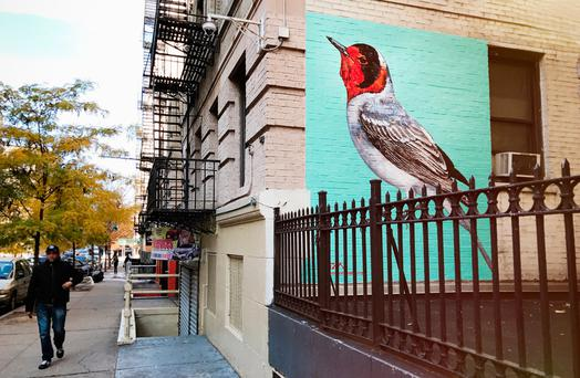 NEW YORK: A Red-face Warbler for the Audubon Mural Project