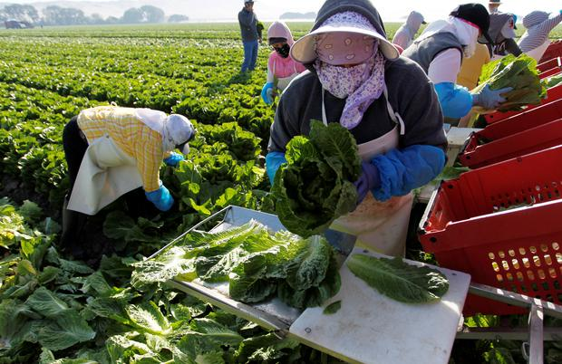 A crew harvests romaine lettuce by hand near Soledad, California, U.S., May 3, 2017. REUTERS/Michael Fiala