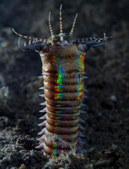 The Bobbit worm is named after THAT Bobbit. PIC: BBC
