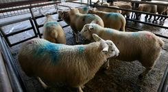 The number of factory-fit lambs going through the marts is falling