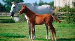 Ann Gustavii's Nordic Imp Gii, by Norson, with her foal by Drakkir G