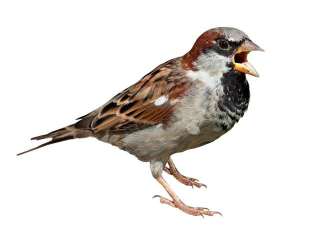 FADING: The house sparrow