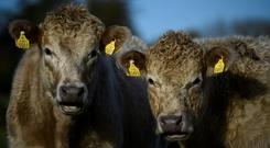 Hereford cattle belonging to farmer Philip Maguire are seen in Enniskerry, Ireland November 16, 2017. REUTERS/Clodagh Kilcoyne