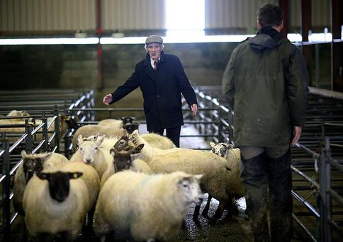 Mountbellew Sheep Mart, Co. Galway. John Finneran from Taughmaconnell, Co Roscommon brings his sheep to the mart. Photo Brian Farrell
