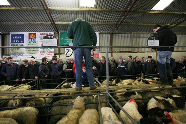 18/11/2017.Mountbellew Sheep Mart, Co. Galway. Photo Brian Farrell