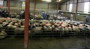 Mountbellew Sheep Mart, Co. Galway. Photo Brian Farrell