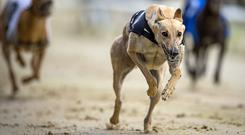 Entries closed yesterday for the Gain Dog Nutrition Christmas Oaks and the Gold Collar competitions (stock picture)