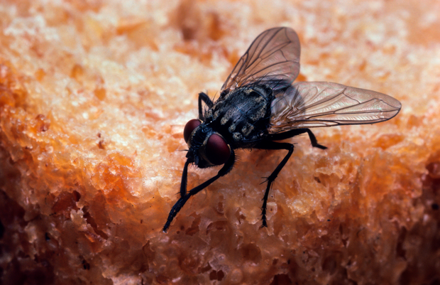 Flies in urban areas were found to carry more bacteria than the countryside. Photo: Getty