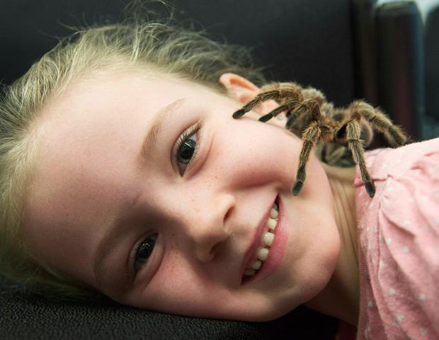 Shauna Ní Churraoin from Leitir Móir meets a tarantula at the Galway Science and Technology Festival in NUI, Galway Photo: Andrew Downes