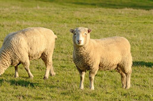 Dorset ewes enjoying the winter sun. Depositphotos.