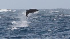 A beaked whale breaches the waves off the west coast. Photo: Ashley Bennison (UCC)