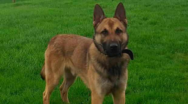 Police dog Jerry is praised for his bravery