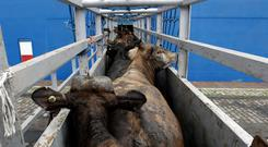 Cattle are loaded at the Lebanese flag ship NADA in the port of Santos, Brazil December 2, 2017. Twenty-seven thousand animals will be transported to Turkey's Mediterranean port of Iskenderun, according to Ecoporto terminal company. REUTERS/Paulo Whitaker
