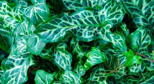 Easy to grow: Italian arum has distinctive pale green markings.