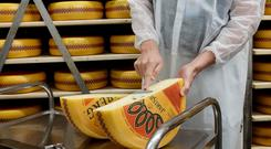 Jarlsberg cheese in production.
