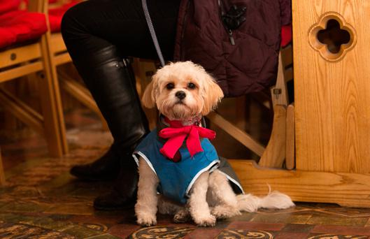 Bonny a Cavachon King Charles cross cocker spaniel from Cabra during a Carol Service with Peata Therapy Dogs at Chirst church Cathedral , Dublin. Photo: Gareth Chaney Collins