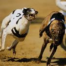 Whoops Jack will go to the traps at Shelbourne Park a strong favourite to land the final of the €5,000 Gold Collar Open 550. Photo: Stock Image