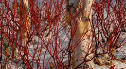 Winner in Winter: Dogwood, which is easy to grow, is a great addition to your garden