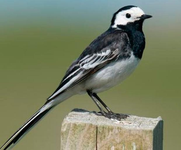 Pied Wagtail: Up to 3,600 were once attracted to Dublin's 'nocturnal heat island'