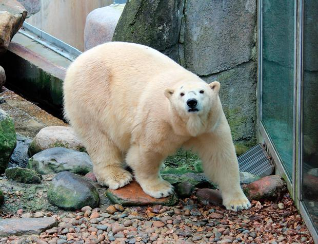 Polar bear Victoria, who has given birth to the first polar bear cub born in the UK for 25 years at the Scottish wildlife park. Photo: Highland Wildlife Park/PA Wire