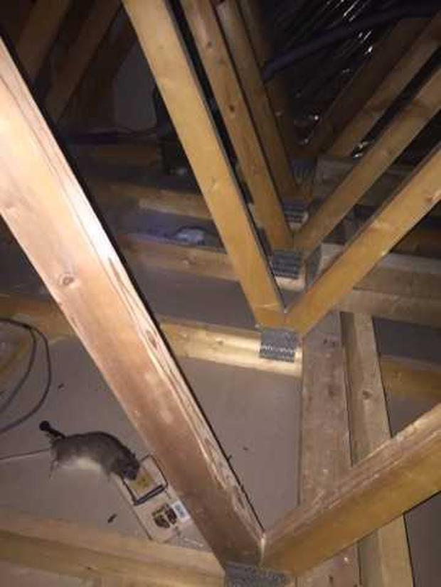 Rats pictured in the attic Photo: Liveline