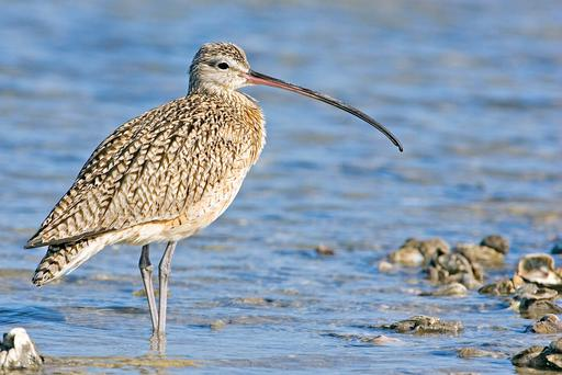 The Curlew:Moving northwards