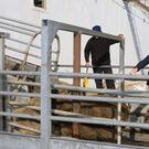 Live exports leave Greenore Port. Picture: Thos Caffrey / Newsfile