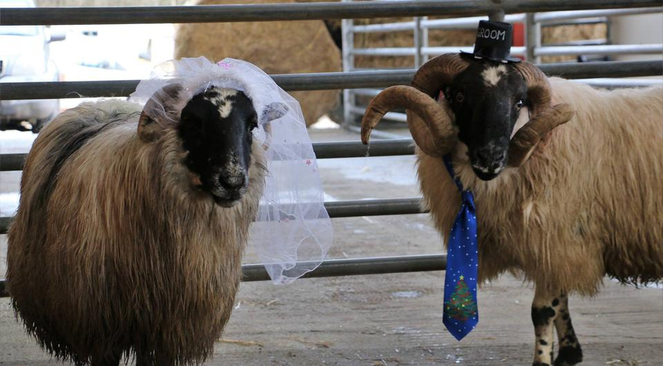 Sheep Noel and Neidin are married at the Kenmare Co-op Mart | Photo via Kenmare Co-op Mart on Facebook