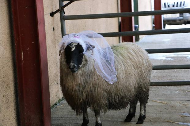 Noel and Neidin the sheep are married as Kerry livestock