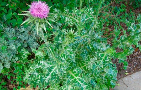 TONIC: Milk Thistle is used as a natural treatment for liver problems and high cholesterol