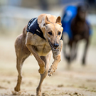 Jaytee Yankee didn't make his anticipated reappearance at Shelbourne on Saturday night but trainer Paul Hennessy has confirmed that the dog will run in the Best Car Parks Gold Cup, which commences next Saturday. (stock picture)