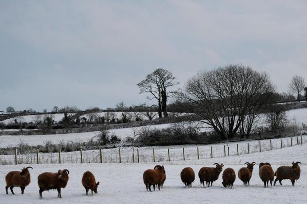 Black sheep are seen in the snow in Hillsborough, Northern Ireland January 16, 2018. REUTERS/Clodagh Kilcoyne