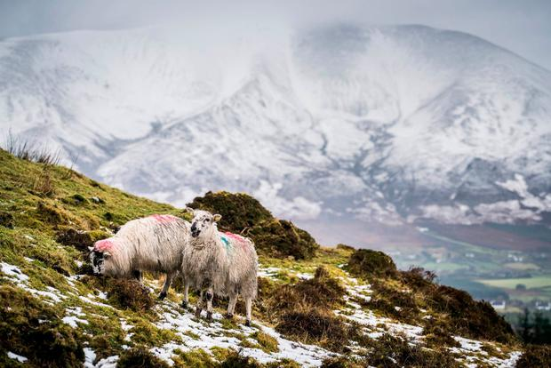 Sheep in a snow covered field near Bofeenaun, Co. Mayo with Nephin Mountain in the background. Photo : Keith Heneghan