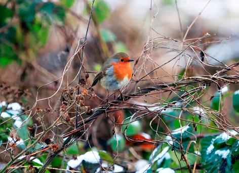 A robin perches on a branch in snowy Lucan. Photo: Collins