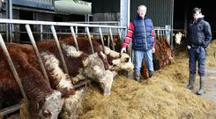 Eddie Flanagan with his Hereford cattle at his farm in Tulsk, Co Roscommon; (below) his son Edward with purebred Texel sheep Photo: Declan Gilmore.