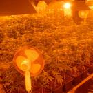 The cannabis plants were discovered by gardai