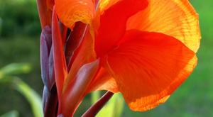 Bright:: Canna lilies