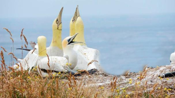 UNREQUITED LOVE: Nigel and the concrete replica gannets