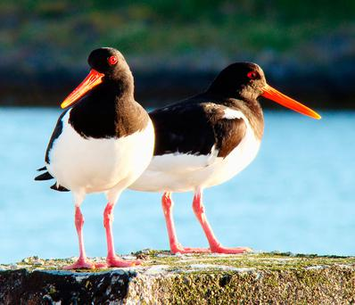 FORAGING: Oystercatchers can dig out 500 cockles a day