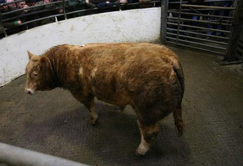 Mohill Monaghan Day. Weight 665K. DOB 15/2/17. Breed LMX. Weanling Bull. Price €1870 Photo Brian Farrell