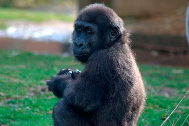 Undated handout photo issued by Bristol Zoo Gardens of baby western lowland gorilla Afia who will turn two on Monday Credit: Jenny Scully/Bristol Zoo Gardens/PA Wire